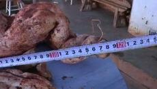 Ziemniak-gigant. Ma ponad metr