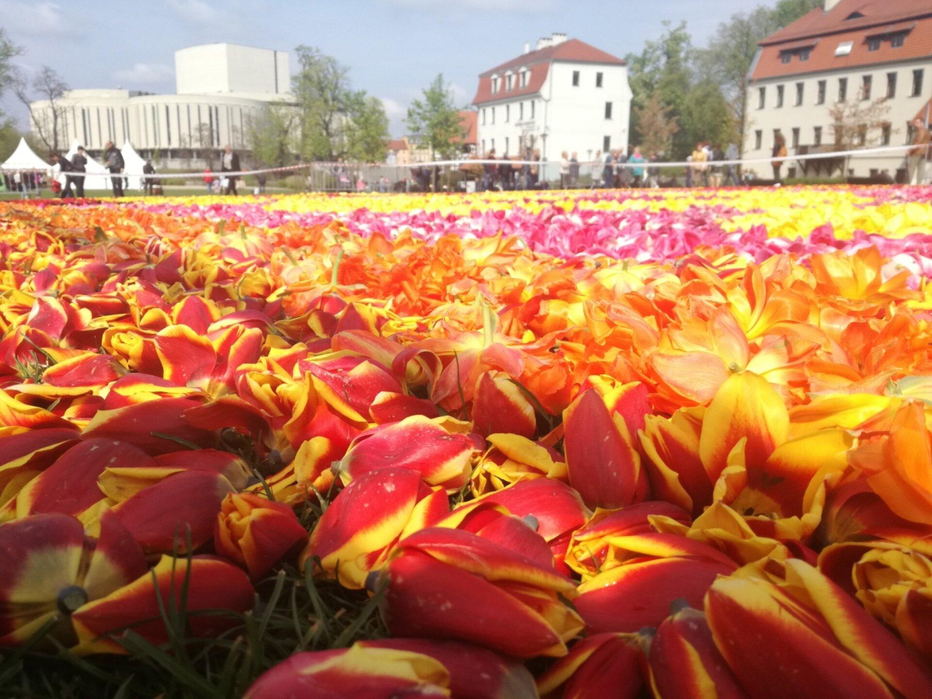 Kwiatowy Dywan Na Wyspie Młyńskiej W Bydgoszczy Alina C