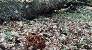 """""""Babie uszy"""" pojawiają się w lasach"""