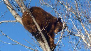 Niedźwiadek na drzewie przy ruchliwej ulicy. Podali mu środek uspokajający, żeby spadł