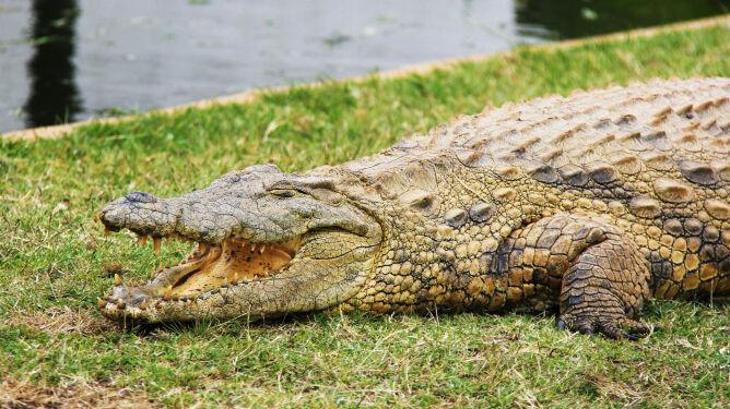Krokodyl grasuje pod Rzymem? <br />Szukają go karabinierzy i strażnicy leśni