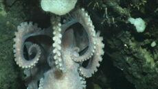 Ośmiornica odnaleziona na głębokości 3 kilometrów